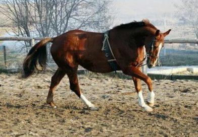 Holsteiner, la elegancia personificada en un caballo