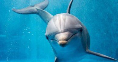 Comportamiento de los delfines, ¿casi humano?
