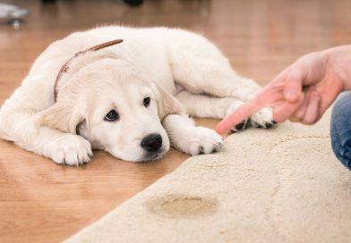 Remedios caseros para la infección de orina en perros